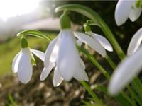 Schneeglöckchen als Frühlingsboten laden uns ein, den Winter zu verabschieden und unsere Kräfte zu aktivieren für die Zeiten des Wachstums.